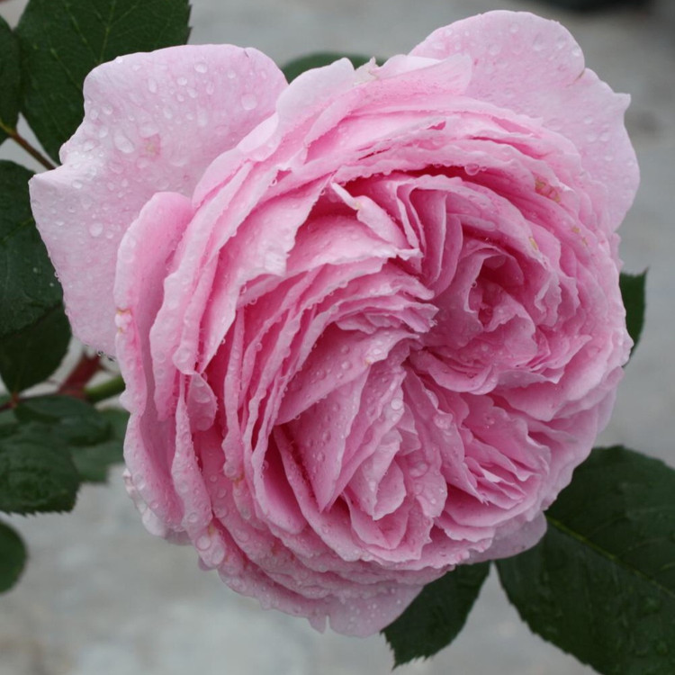 Summer Romance Parfuma Shrub Rose from Cattail Creek Gardens