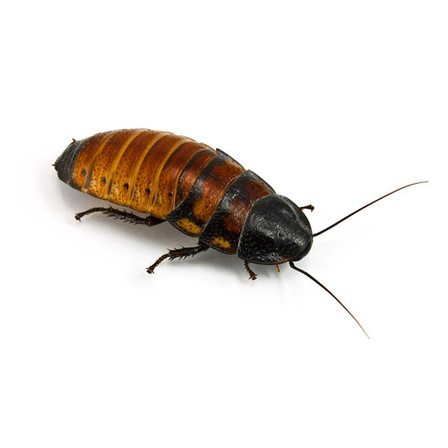 Hissing Cockroaches