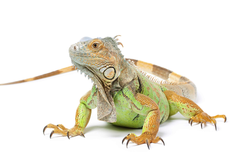 iguana-big.jpg