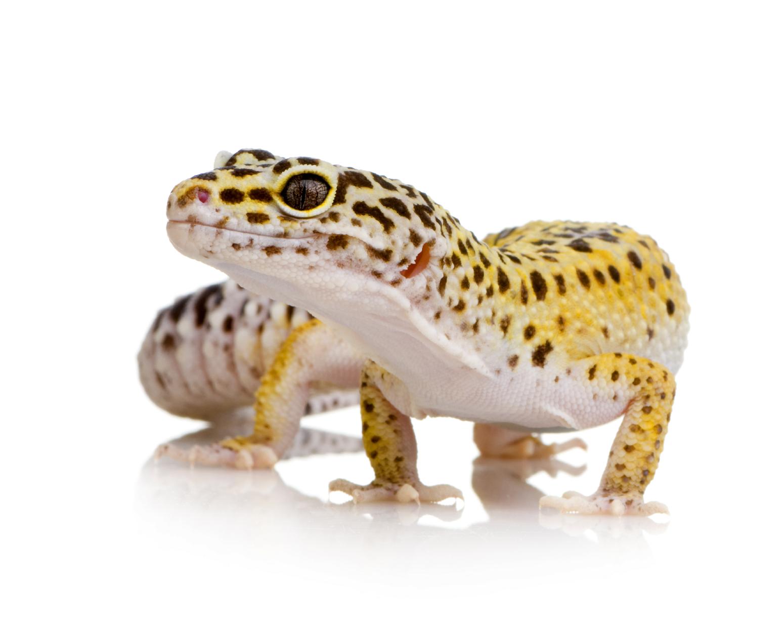Leopard Gecko Care Sheet  Leopard Gecko C...