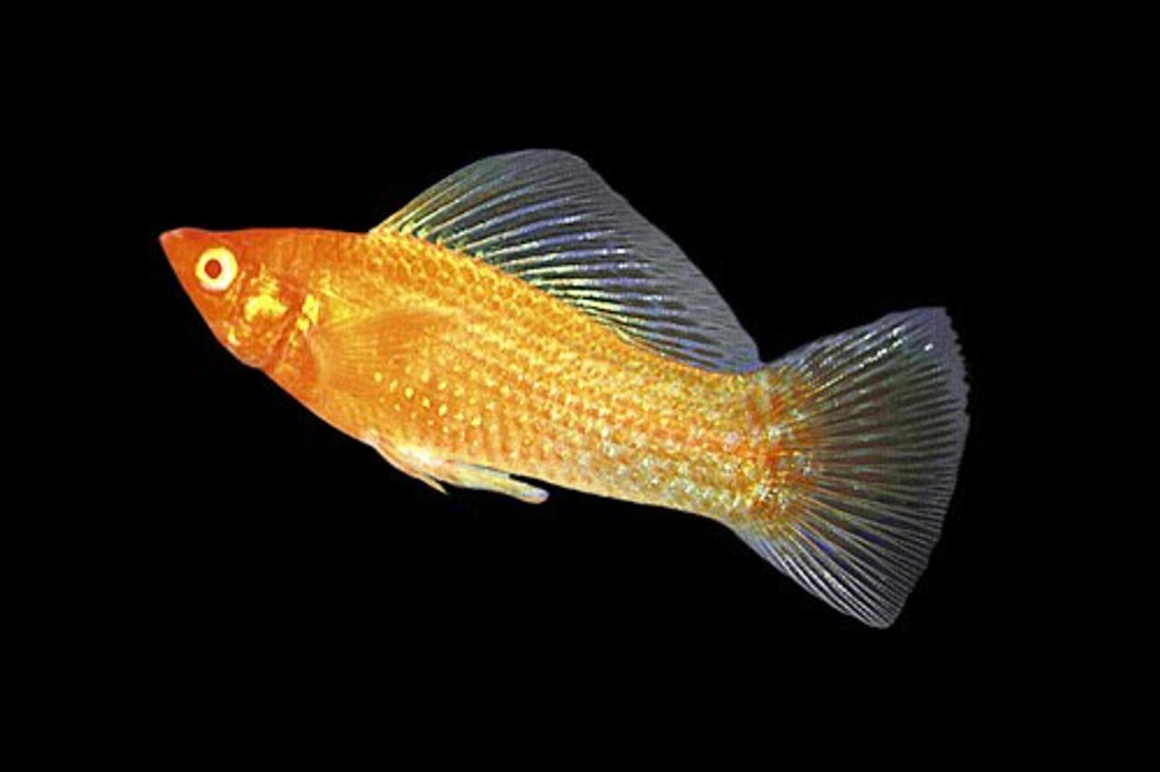 Gold Molly Fish | Gold Sailfin Molly Regular 2 2 25 Inches Bluegrassaquatics Com