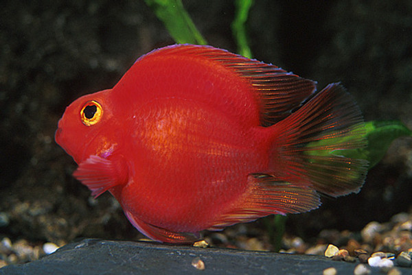 red parrot cichlid medium bluegrassaquatics com