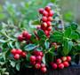 Cranberries on a bush