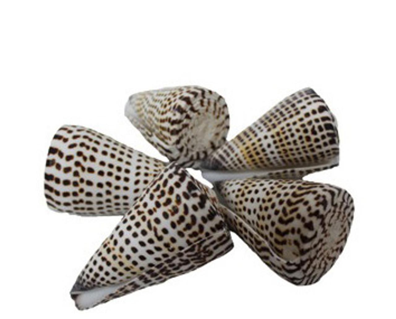 Alphabet Cone Seashells