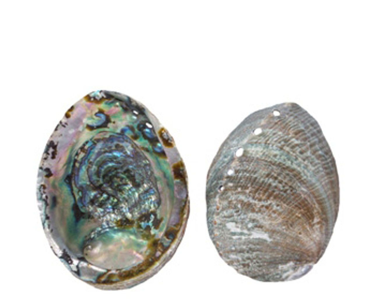 Blue Abalone Seashell