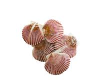A# Caribbean Pecten Seashells