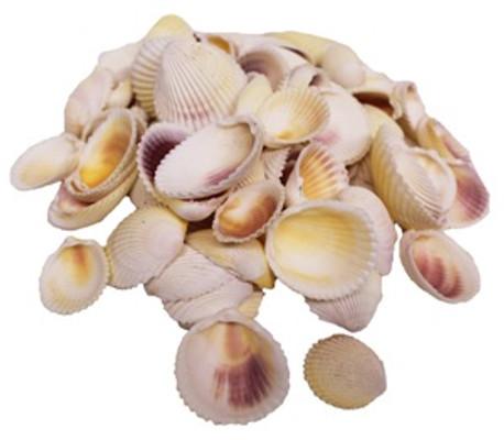 White Cockle Seashells-Kilo