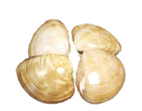 Polished Chocolate Clam Seashells Pairs