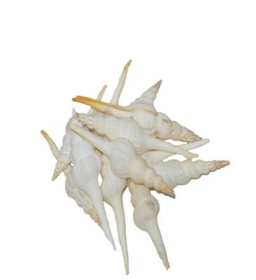 Fusinus Colus Seashells