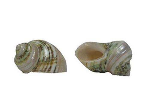 Banded Green Turbo Seashell