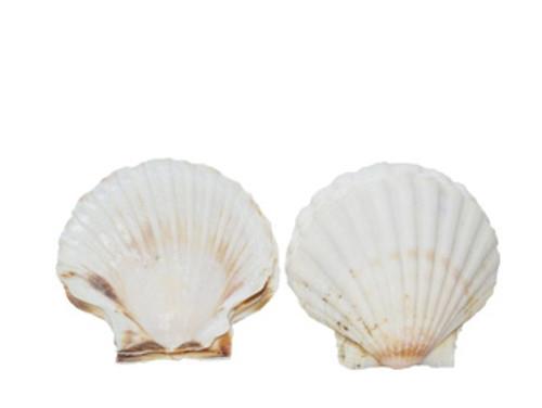 Irish Deep Seashell