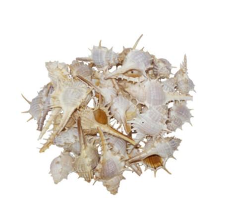 Murex Trappa  Seashell