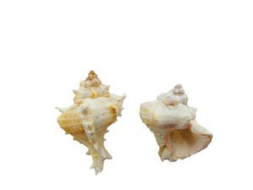 Murex Virgineus Seashell
