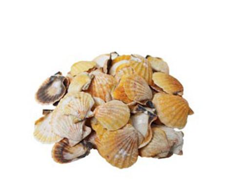 Orange Pecten Vexillum Seashell