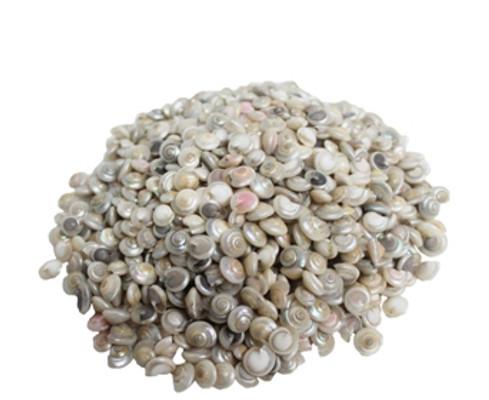 Pearlized Umbonium Seashell - Pound
