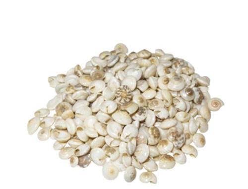 Pearlized Umbonium Seashell- Kilo