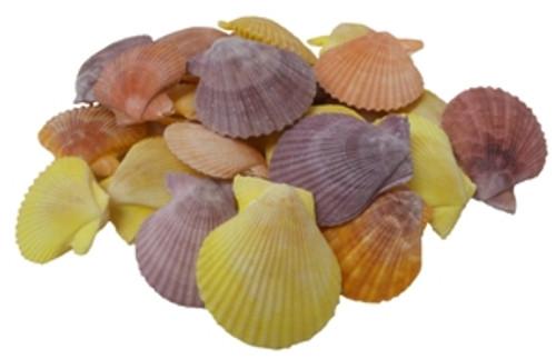 Pecten Noblis Seashell Pairs