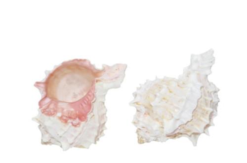 Pink Murex Seashell
