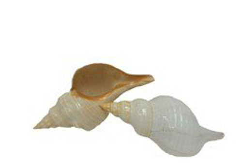 Polished Horse Conch Seashell