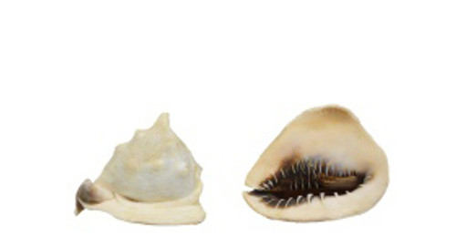 Queen Helmet Seashell