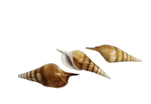 Tibia Curta Seashell- Full Tip