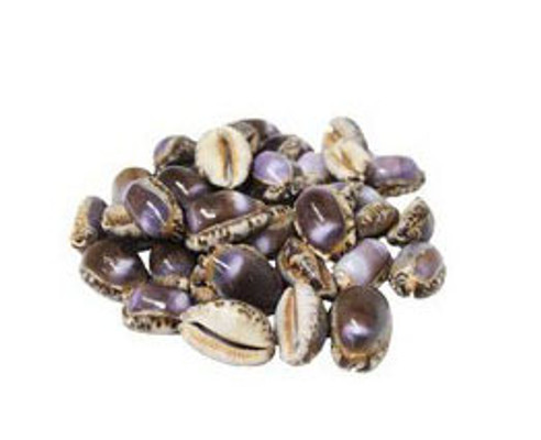 Cypraea Arabica Purple Seashells