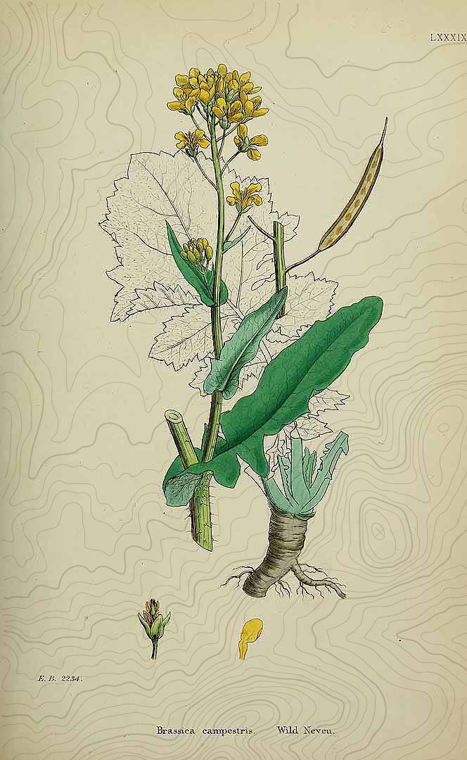 botanical brassica campestris
