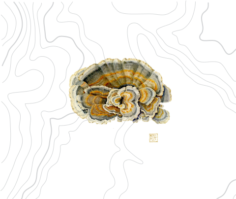 Turkey Tail Botanical Drawing