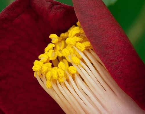 camellia sinensis pollen anther