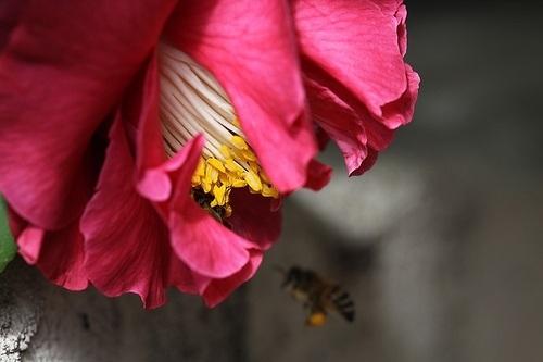 camellia sinensis pollen flower