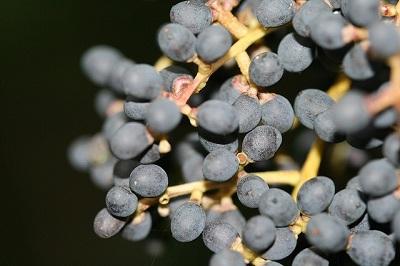 Glossy Privet Ligustrum lucidum Extract