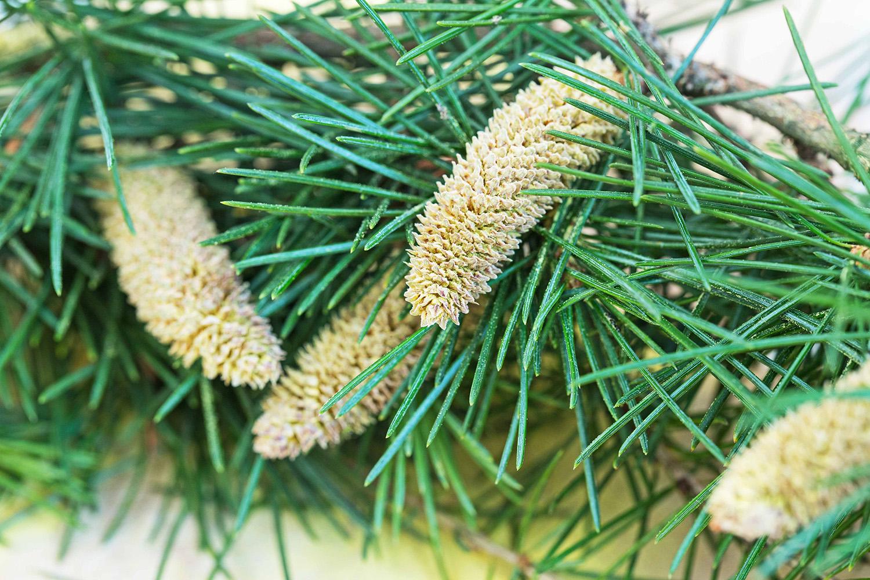 Pine Pollen Herbal Medicine