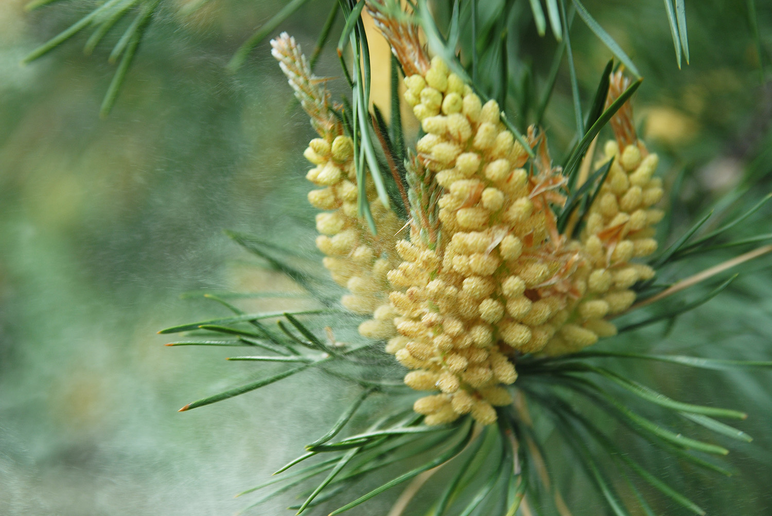 Wild-harvested Pinus massoniana Pollen