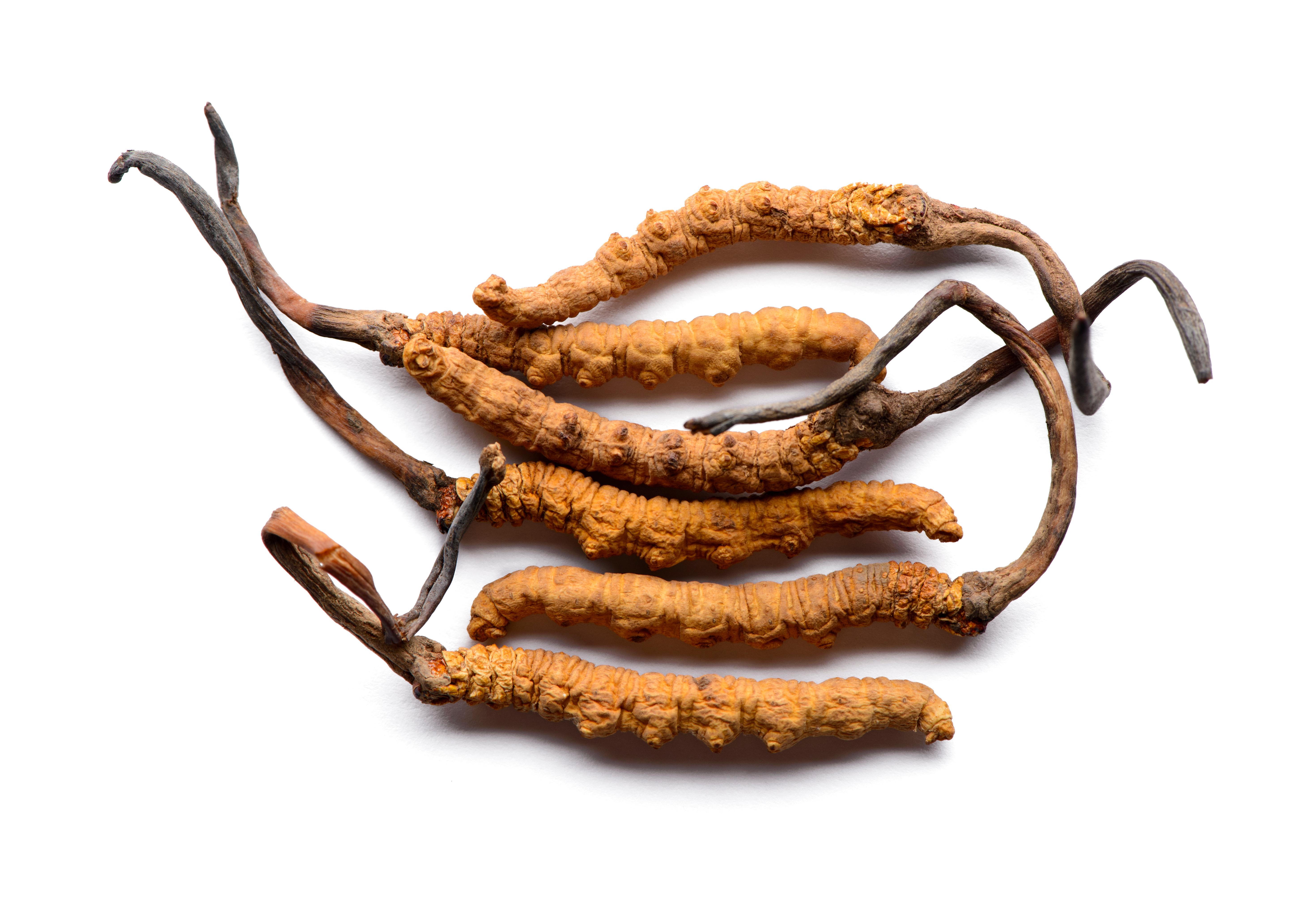 Cordyceps Herbal Medicine