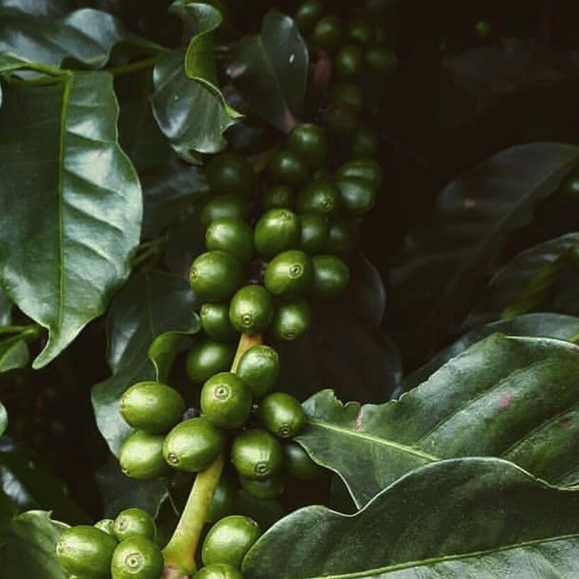 Ingredient Feature: Green Coffee Bean Extract