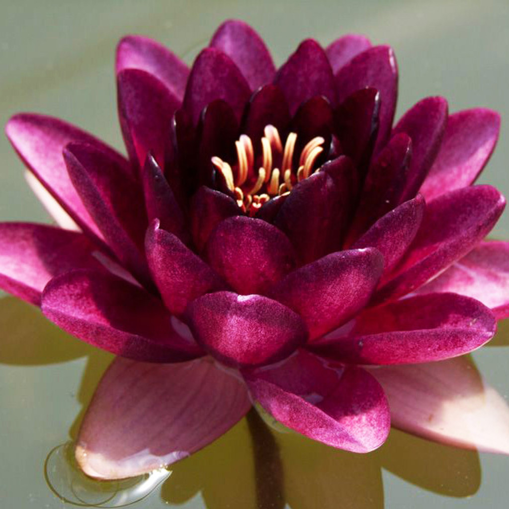 Black Princess - Hardy Water Lily