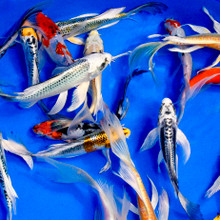 Specialty Japanese Butterfly Koi