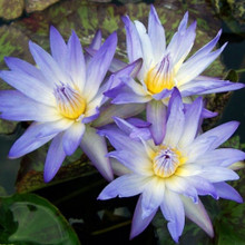 Star of Siam - Tropical Water Lily (Day Bloomer)