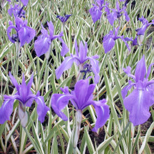 Blue/Purple Laevigate Water Iris