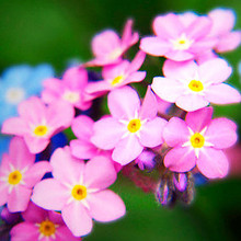 Pink Forget-me-nots