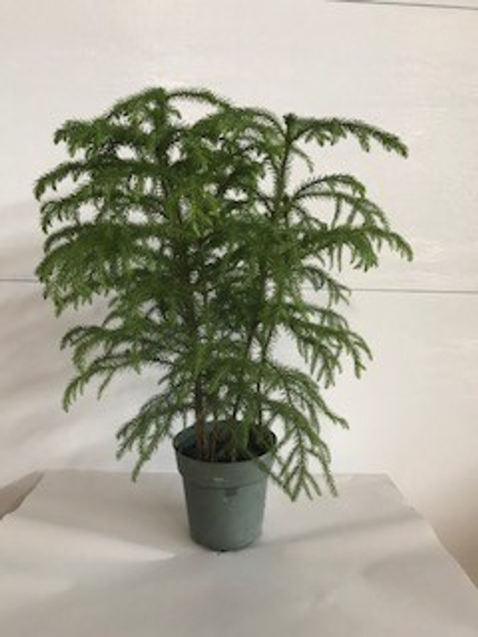 """6"""" POTTED NORFOLK PINE"""