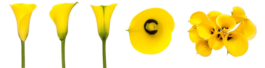 Calla Yellow sande