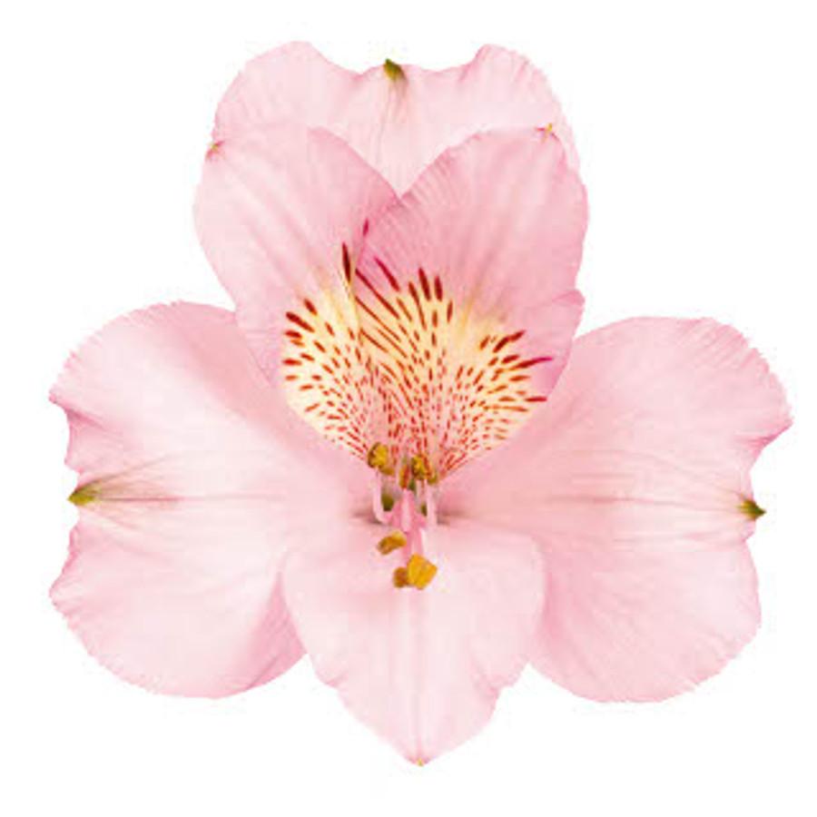 Alstro. Pink continental
