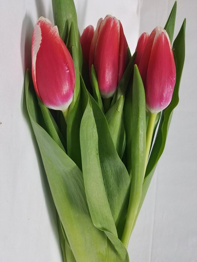 Tulip HotPk Peppermint v.d.