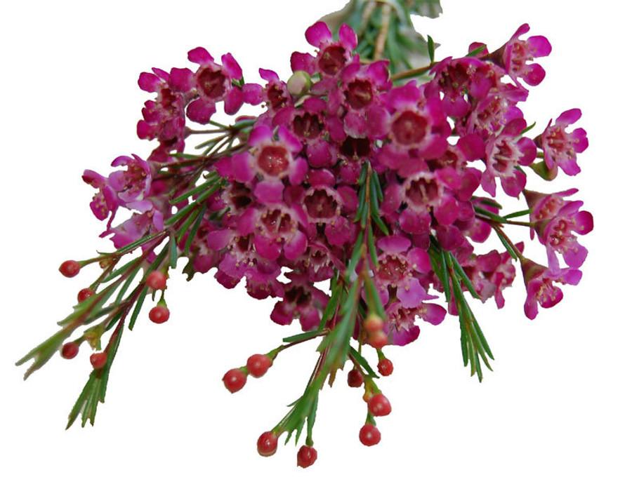 Waxflower Purple fl. union