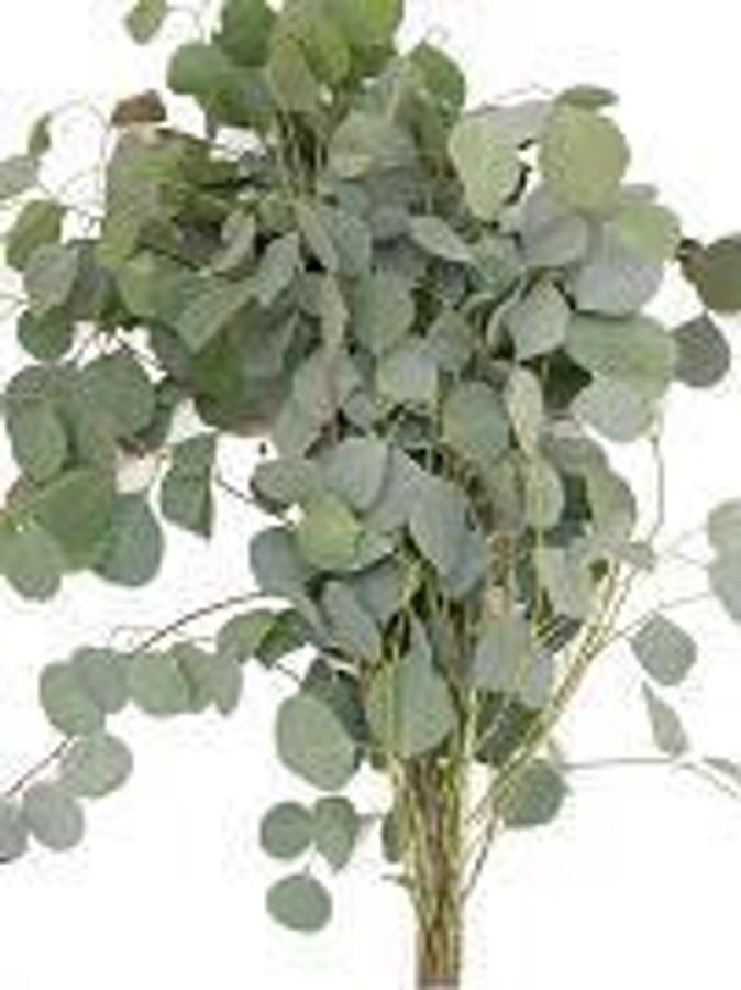 Eucalyptus Silver Dollar 5-6ft