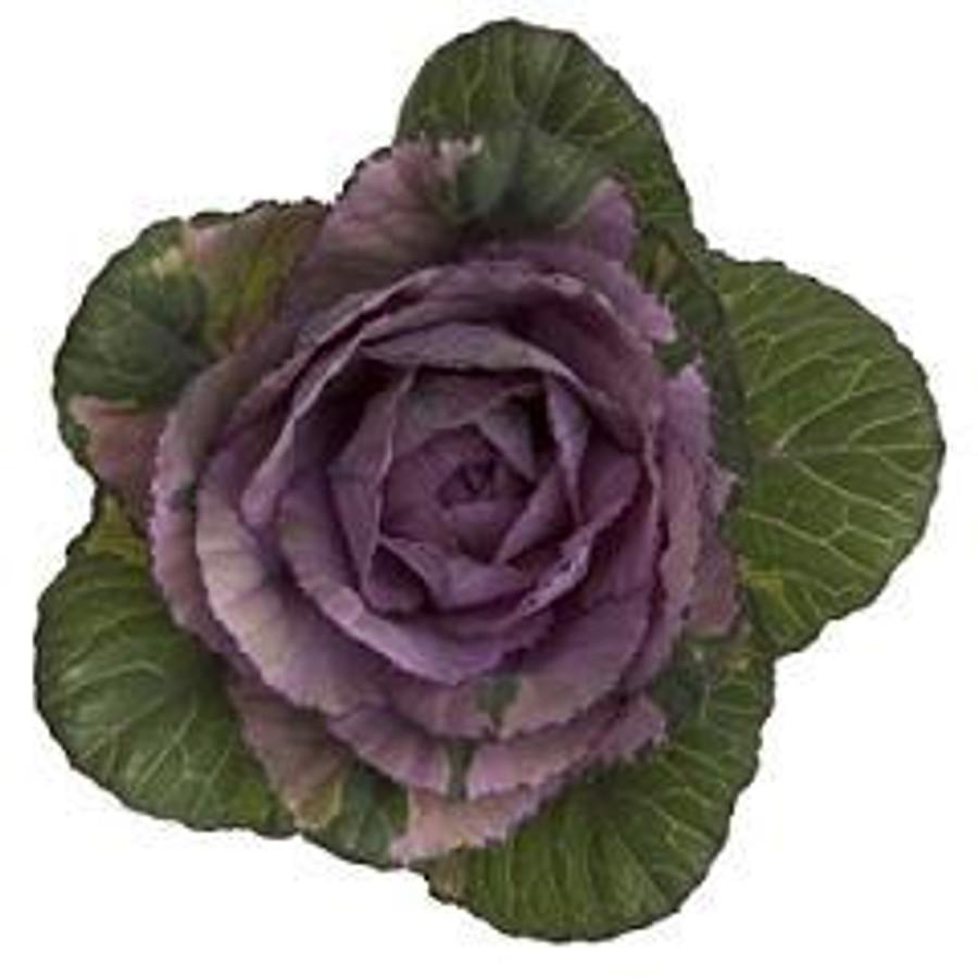 Kale Purple tutuli(STEM)