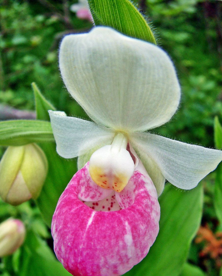Orchids Lady Slippers(STEM)