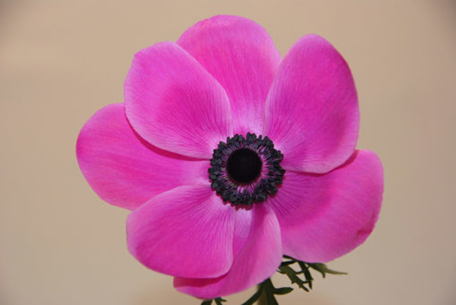 Anemonie Orchid holl