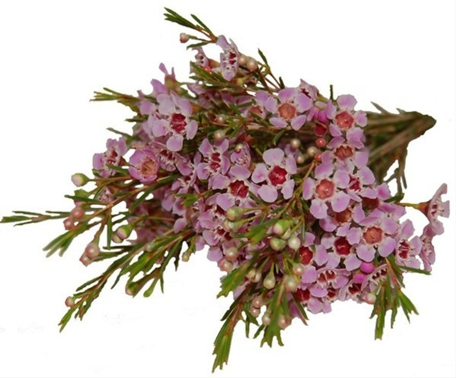 Waxflower Hybrid Pink fbi.